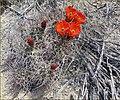 Hedgehog Cactus Flowers, JTNP 4-13-13 (8689108275).jpg