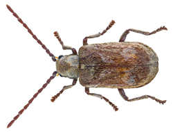 Hedobia imperialis (Linné, 1767) (28256439642).png