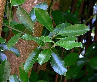 <i>Hedycarya</i> genus of plants
