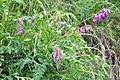 Hedysarum hedysaroides Alpine French Honeysuckle ალპური კრიალოსანა.JPG