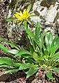 Helianthella castanea 2.jpg