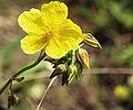 Helianthemum nummularium inflorescence (29).jpg