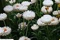 Helichrysum Dreamtime Jumbo White 2zz.jpg