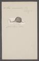 Helix nemoralis - - Print - Iconographia Zoologica - Special Collections University of Amsterdam - UBAINV0274 089 01 0024.tif