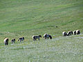 Herd of Mongolian Wild Horse (8367788369).jpg