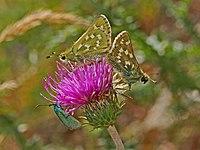 Hesperiidae - Hesperia comma.JPG