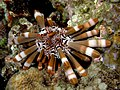 Heterocentrotus mammillatus (Slate pencil urchin).jpg