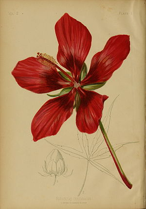 Thomas Meehan (botanist) - Hibiscus coccineusby Alois Lunzer from The Native Flowers and Ferns of the United States, Volume II by Thomas Meehan