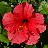 Hibiscus rosa-sinensis 'Brilliant' flower in private Austrian garden on 2014-09-20.png