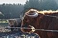 Highland cattle in Fagne Tirifaye, Waimes, Belgium (VeloTour intersection 80, DSCF3631).jpg