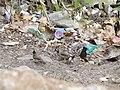 Himalayan Bulbul (White-cheeked Bulbul) - Pycnonotus leucogenys - Red-vented Bulbul - Pycnonotus cafer - Red-whiskered Bulbul - Pycnonotus jocosus - DSC01119.jpg