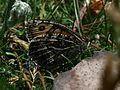 Hipparchia semele (Grayling) - Flickr - S. Rae.jpg