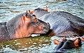Hippos, Uganda (15211237868).jpg