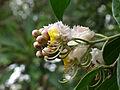Hiptage benghalensis 03.JPG