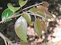 Hiptage benghalensis at Gudalur (5).jpg