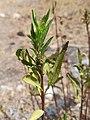 Hojas de Baccharis salicifolia.jpg