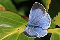 Holly blue butterfly (Celastrina argiolus) female.jpg