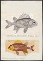 Holocentrum hastatum - - Print - Iconographia Zoologica - Special Collections University of Amsterdam - UBA01 IZ12900045.tif