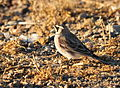 Horned Lark on Seedskadee NWR.jpg