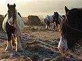 Horses on downland, Liddington - geograph.org.uk - 701894.jpg