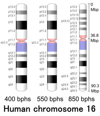 Chromosome 16 (human) - Image: Human chromosome 16 400 550 850 bphs