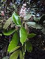 Humboldtia brunonis Wall. 03.JPG
