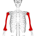Humerus - anterior view2.png