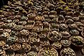 Huntington Gardens 03 - Lithops.jpg