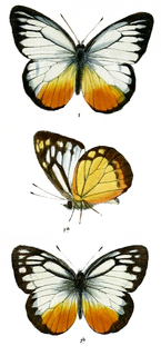 <i>Cepora judith</i> species of insect