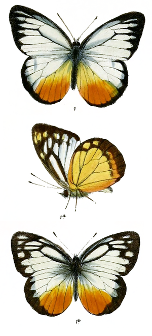Cepora judith - C. j. lea (male upper and underside, female)