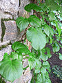 Hydrangea Anomala3.jpg