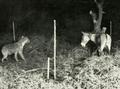 Hyena vs ass.png