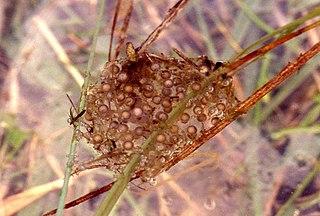 Rosnička zelená (lat. Hyla arborea) - vajíčka