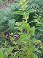 Hypericum hircinum Salina 503.jpg