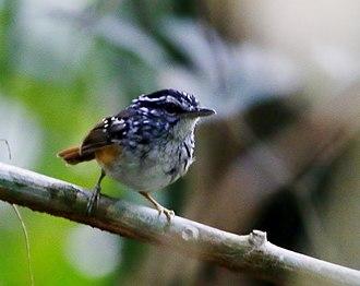 Spix's warbling antbird - Image: Hypocnemis striata Spix's warbling antbird (Carajás)