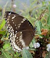 Hypolimnas bolina - Great Eggfly at Thillankeri 14.JPG