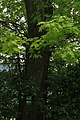 ID 621 Roteiche bei Königraben Nr 16.JPG