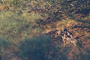 Iberian wolf - Iberian wolf pups stimulating the alpha female to regurgitate