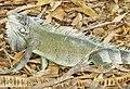 Iguana iguana (Iguania).jpg