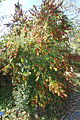Ilex dimorphophylla - Quarryhill Botanical Garden - DSC03758.JPG