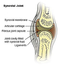 Synovial membrane wikipedia illu synovial jointg ccuart Image collections