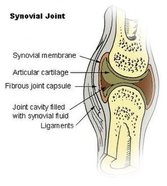 Synovial fluid - Synovial joint