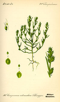 Illustration Corispermum intermedium0