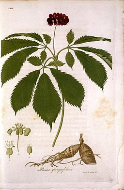 "Illustration of ginseng from Bigelow ""American Botany"" Wellcome L0017447"