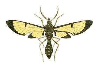 <i>Trichura coarctata</i> Species of moth