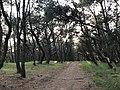 Imazu Pine Grove 17.jpg