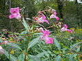 Impatiens glandulifera flower3.jpg