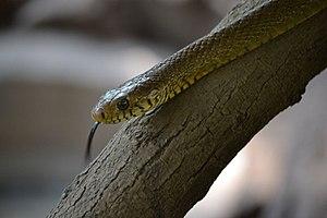 Ptyas mucosa - Indian Rat Snake