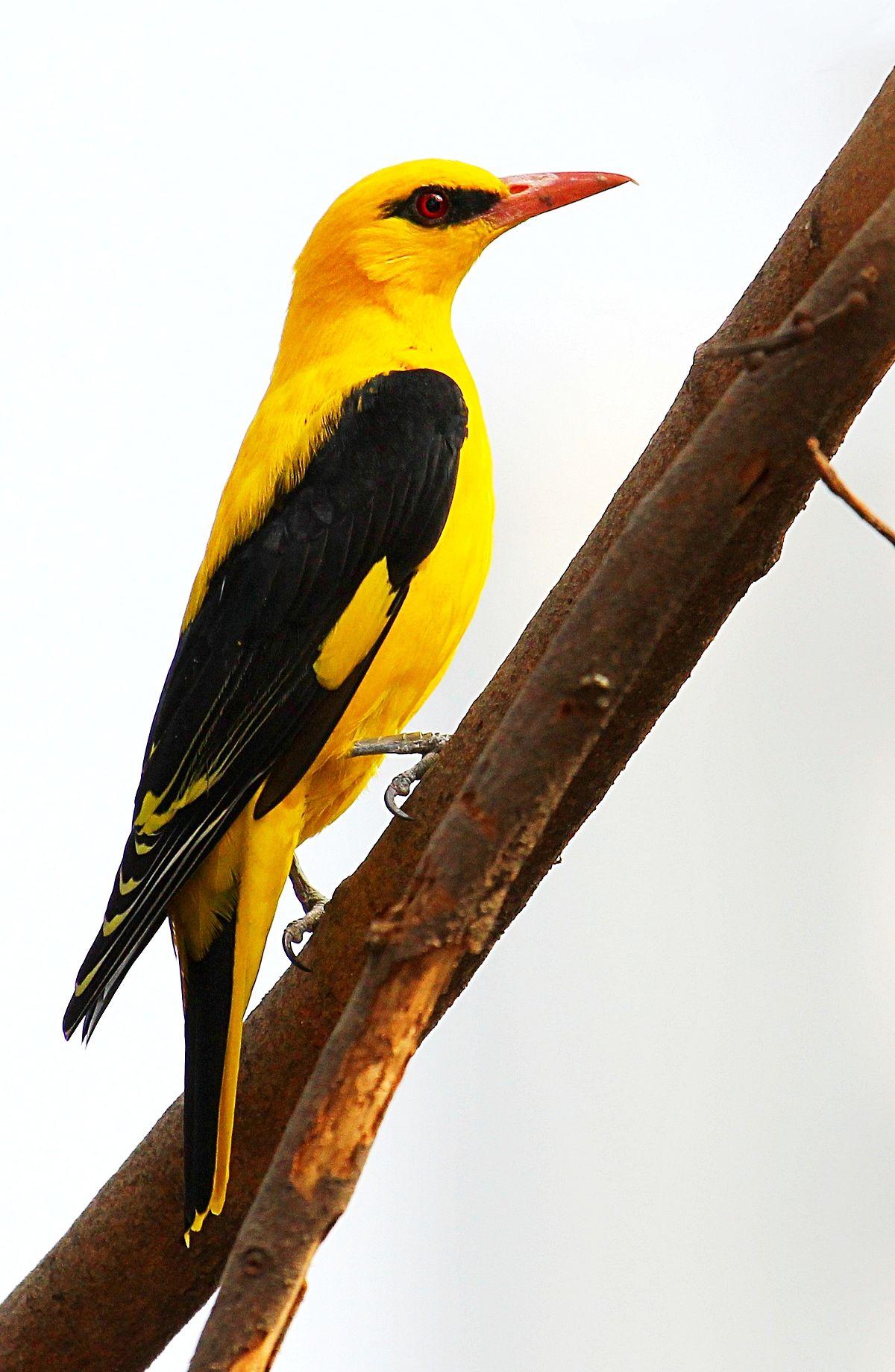 Oriolus Kundoo Wikispecies