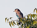 Indian Roller on the neem tree.JPG